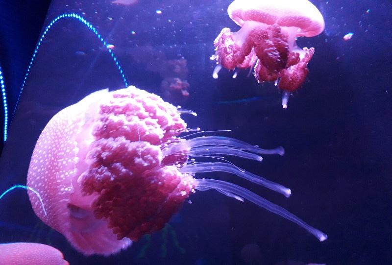https: img.okezone.com content 2018 12 18 406 1992983 seaworld-ancol-hadirkan-spesies-ubur-ubur-baru-menjelang-libur-akhir-tahun-5koIBxlhwI.jpg