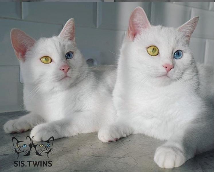 Kenalkan Irris Abyss Kucing Kembar Terimut Di Instagram Okezone Lifestyle