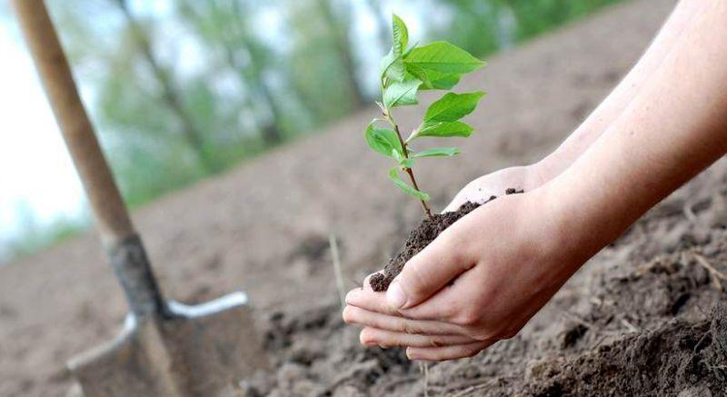 Hasil gambar untuk Cara menanam pohon uang