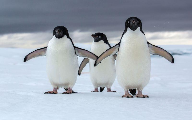 https: img.okezone.com content 2019 01 16 196 2005189 bersiaplah-setelah-demam-baby-shark-kini-giliran-penguin-gWINQlTPGC.jpg