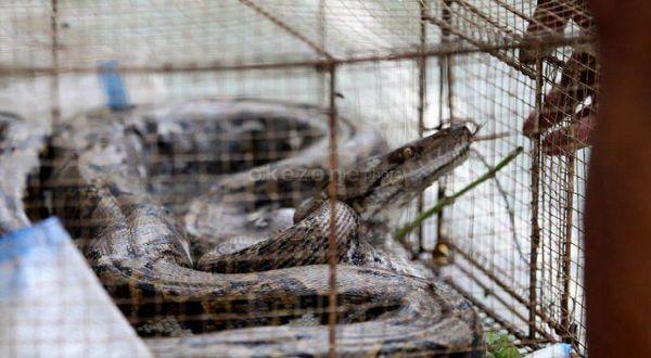https: img.okezone.com content 2019 01 16 510 2005087 ular-piton-bermunculan-di-gunungkidul-melukai-beberapa-warga-ZwuCDBAZoe.jpg