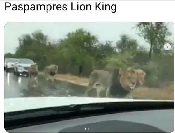 https: img.okezone.com content 2019 01 22 196 2007636 singa-jadi-paspampres-aksinya-bikin-warga-kocar-kacir-MwRX66OSV3.jpg
