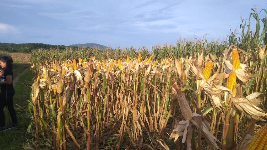 https: img.okezone.com content 2019 02 02 320 2012961 petani-jagung-di-kalsel-bergembira-menikmati-hasil-panen-berlimpah-dengan-harga-menguntungkan-Kl2yj0hWZE.jpeg
