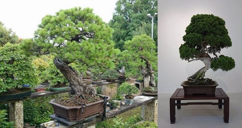 https: img.okezone.com content 2019 02 13 196 2017621 bonsai-langka-senilai-rp1-2-miliar-raib-digondol-maling-seperti-ini-penampakannya-ViuMT2VPTb.jpg