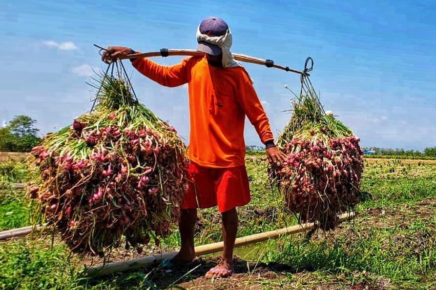 https: img.okezone.com content 2019 02 14 320 2017803 petani-bawang-merah-brebes-panen-hasilnya-untung-6txh41UsH5.jpeg
