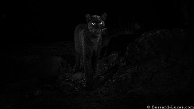 https: img.okezone.com content 2019 02 15 18 2018199 setelah-100-tahun-black-panther-kembali-tertangkap-kamera-di-hutan-afrika-TcNXo1u9ch.jpg