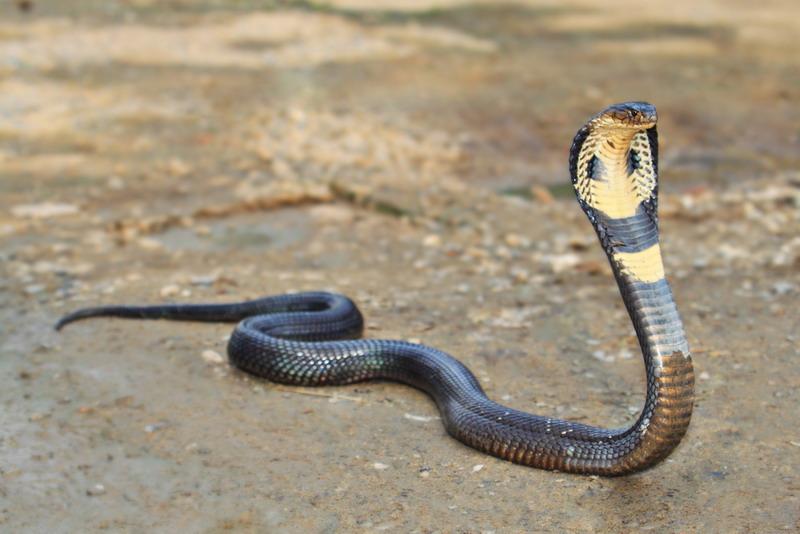 https: img.okezone.com content 2019 02 18 340 2019615 warga-digegerkan-dengan-penemuan-ular-kobra-sepanjang-1-meter-di-dalam-mesin-cuci-HPjyoUPFeS.jpg