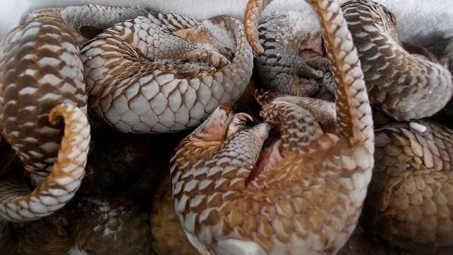 https: img.okezone.com content 2019 02 19 18 2019892 trenggiling-jadi-mamalia-yang-paling-diperdagangkan-di-dunia-termasuk-indonesia-T9GkIS9fdk.jpg