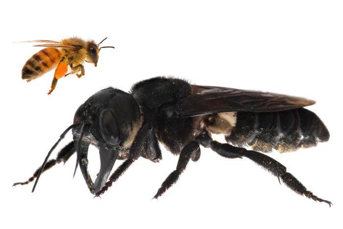https: img.okezone.com content 2019 02 25 337 2022496 kisah-tim-detektif-temukan-lebah-terbesar-dunia-di-maluku-g1pkcohJB2.jpg