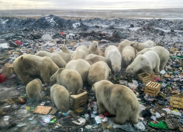 https: img.okezone.com content 2019 03 05 18 2026295 habibat-rusak-beruang-kutub-cari-makan-di-tumpukan-sampah-jiDCVON7Le.jpg