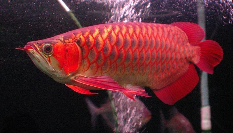Unduh 760 Gambar Ikan Arwana HD Terbaru