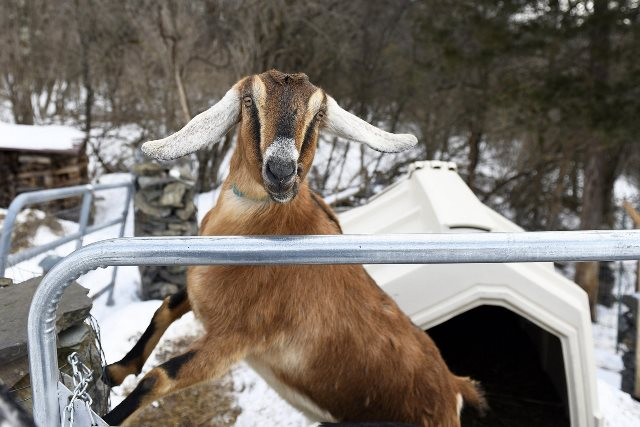 https: img.okezone.com content 2019 03 09 18 2027832 kambing-bernama-lincoln-terpilih-jadi-wali-kota-di-amerika-YglClz4R5h.jpeg