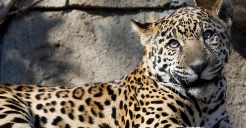 https: img.okezone.com content 2019 03 15 406 2030373 diselamatkan-botol-minum-wanita-ini-selamat-dari-terkaman-jaguar-ma7vylhwxf.jpg