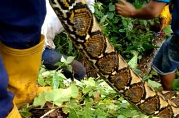 https: img.okezone.com content 2019 03 17 609 2031233 pria-ini-injak-ular-6-meter-yang-baru-saja-menelan-sapi-BVLMtCGH4d.JPG