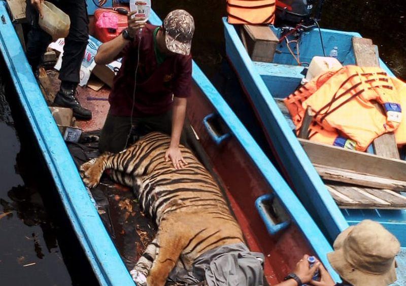 https: img.okezone.com content 2019 03 31 340 2037464 menteri-lhk-harimau-yang-terkena-jerat-ngambek-di-pusat-rehabilitasi-jgFvwv64wJ.jpg