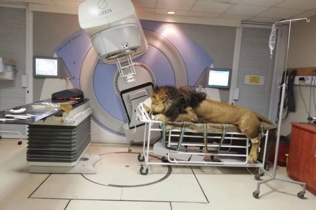 https: img.okezone.com content 2019 05 10 18 2054184 menderita-kanker-kulit-singa-jantan-ini-jalani-terapi-radiologi-di-klinik-manusia-GYTk8zkiK9.jpg