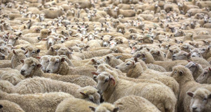 Hasil gambar untuk domba