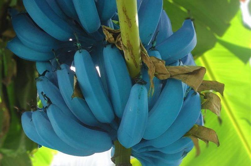 https: img.okezone.com content 2019 06 13 612 2066220 pisang-biru-langka-ini-benar-benar-ada-diberi-nama-blue-java-nE97MbaUXz.jpg