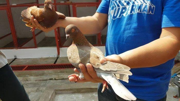 Harga Burung Dara Qiu Qiu