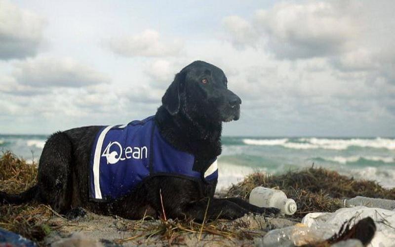 https: img.okezone.com content 2019 07 05 612 2075178 perkenalkan-lila-anjing-pintar-pengepul-botol-plastik-yang-jago-menyelam-gKFYhX4b66.jpg
