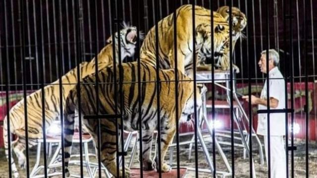 https: img.okezone.com content 2019 07 06 18 2075422 pelatih-sirkus-paling-terkenal-di-italia-tewas-diserang-4-harimau-saat-latihan-ZDdlBuC5f9.jpg