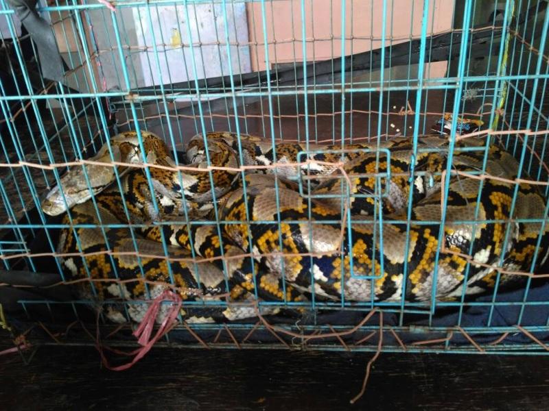 https: img.okezone.com content 2019 07 09 338 2076592 tiga-ular-sanca-hebohkan-warga-kepulauan-seribu-V9oAGCud0L.jpg