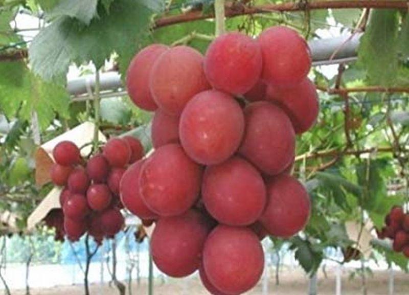 https: img.okezone.com content 2019 07 11 320 2077417 anggur-langka-ini-dilelang-rp155-juta-minat-KttZHQcf5Q.jpg