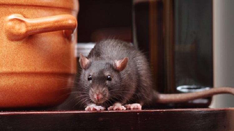 https: img.okezone.com content 2019 07 15 481 2078935 viral-video-tikus-makan-makanan-di-warteg-ini-bahaya-yang-mengintai-BIU8gIHJLK.jpg