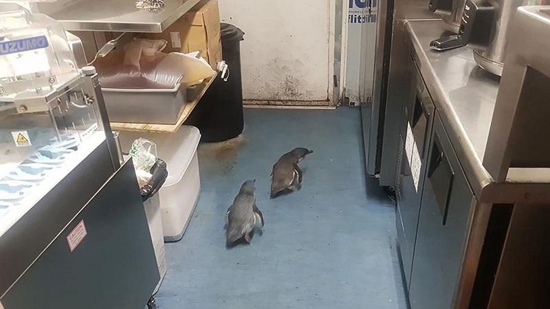 https: img.okezone.com content 2019 07 18 612 2080717 menyelinap-ke-restoran-2-ekor-penguin-diamankan-polisi-wRlhfTSoqp.jpg