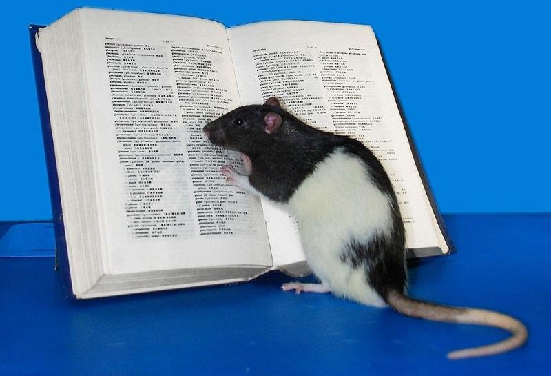https: img.okezone.com content 2019 07 20 612 2081378 punya-kemampuan-lengkap-ini-4-fakta-kalau-tikus-hewan-yang-cerdas-DWyUayPpcp.jpg