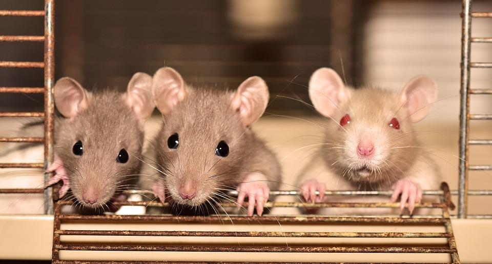 https: img.okezone.com content 2019 07 21 481 2081700 hati-hati-ini-4-penyakit-berbahaya-yang-disebabkan-oleh-tikus-RaW8Ybrohx.jpg