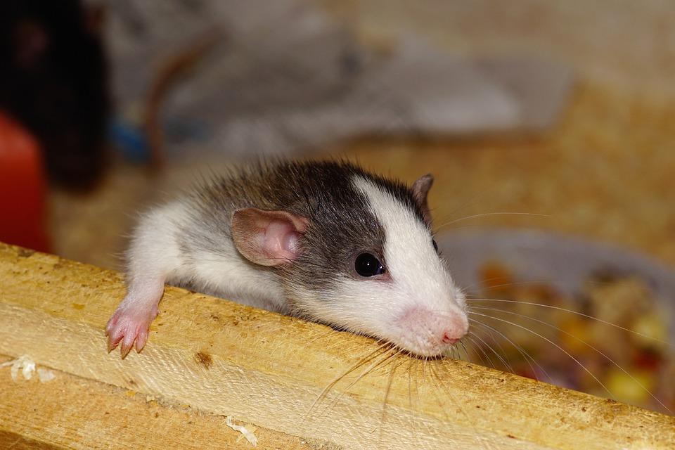 https: img.okezone.com content 2019 07 21 612 2081737 ini-eksperimen-gunakan-tikus-paling-gila-dalam-sejarah-MskwQ1r28C.jpg