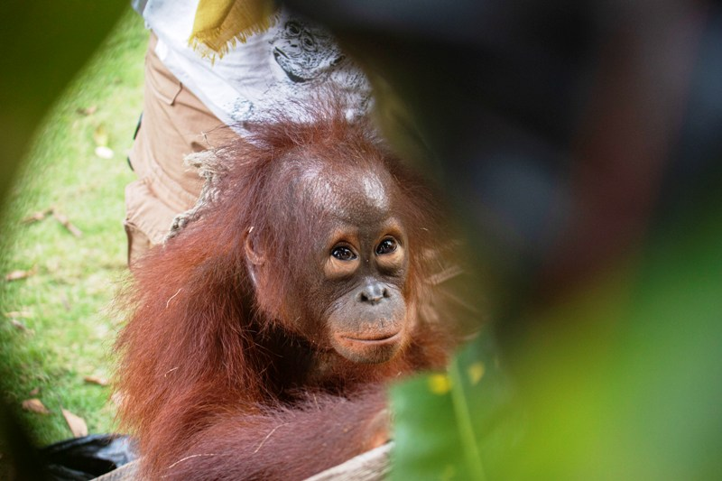 https: img.okezone.com content 2019 07 25 340 2083594 kisah-haru-lepasnya-rantai-di-leher-kenaya-anak-orangutan-yang-dipelihara-ilegal-7V2OyK66mg.jpg