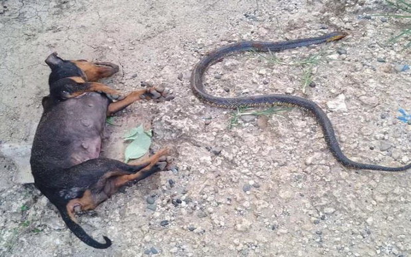 https: img.okezone.com content 2019 07 25 612 2083383 selamatkan-bayi-majikannya-anjing-ini-rela-mati-lawan-ular-kobra-KiV5O6bICn.JPG