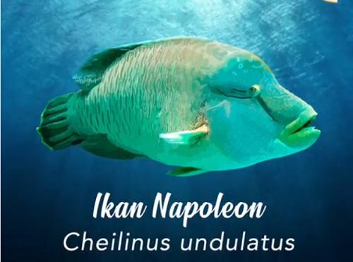 Kenalkan Ini Ikan Napoleon Dengan Panjang 2 Meter Harganya Rp1 4 Juta Kg Okezone Economy