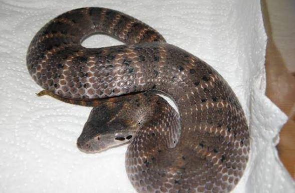 https: img.okezone.com content 2019 07 30 340 2085202 mengenal-black-adder-ular-beracun-paling-mematikan-di-dunia-yang-tewaskan-bripka-desri-pw5Kv4njHd.JPG