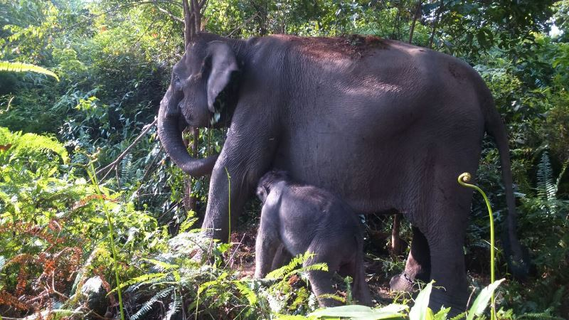 https: img.okezone.com content 2019 08 06 340 2088619 karhutla-riau-picu-konflik-gajah-dan-manusia-JAzkNONtWo.jpg