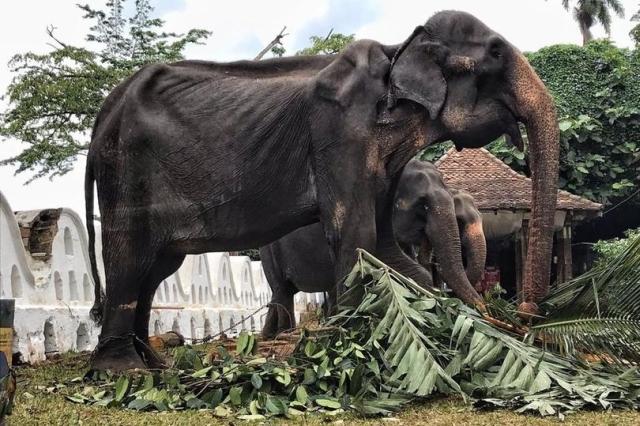 Gajah Ceking Berusia 70 Tahun Dipaksa Berparade Ikut Festival Di