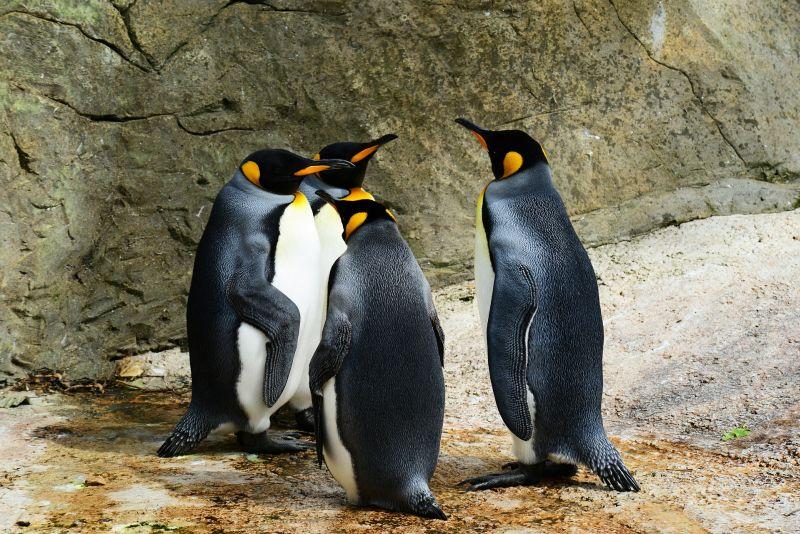 https: img.okezone.com content 2019 08 20 612 2094147 akhirnya-pasangan-penguin-homo-ini-berhasil-adopsi-telur-twQkjEOAHY.jpg