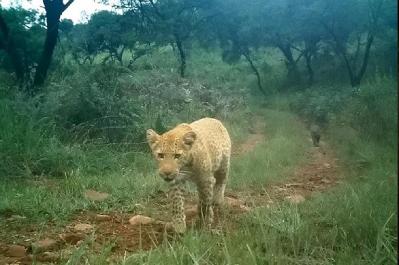 https: img.okezone.com content 2019 08 20 612 2094314 pertama-kalinya-macan-tutul-stoberi-tertangkap-kamera-di-alam-liar-PnEicnTY1d.jpg