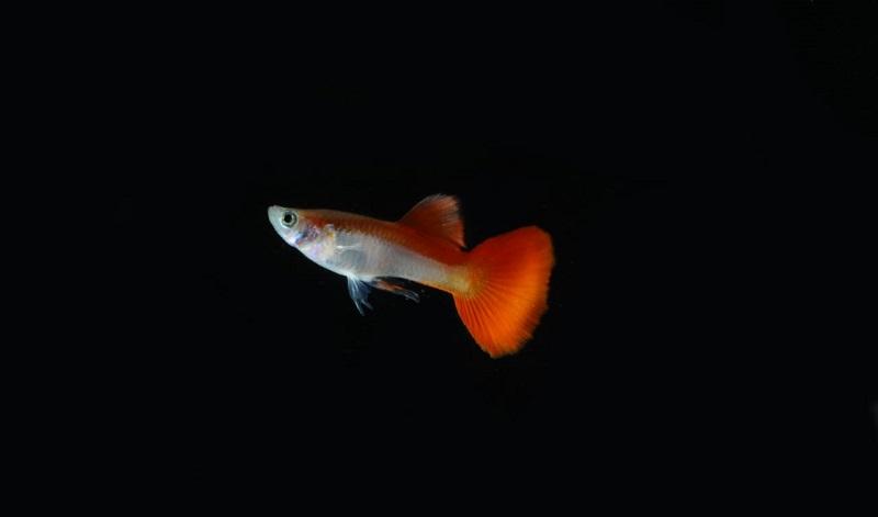 https: img.okezone.com content 2019 08 20 612 2094530 cantiknya-ikan-guppy-bercorak-merah-putih-mirip-bendera-indonesia-QcAytLxydP.jpeg