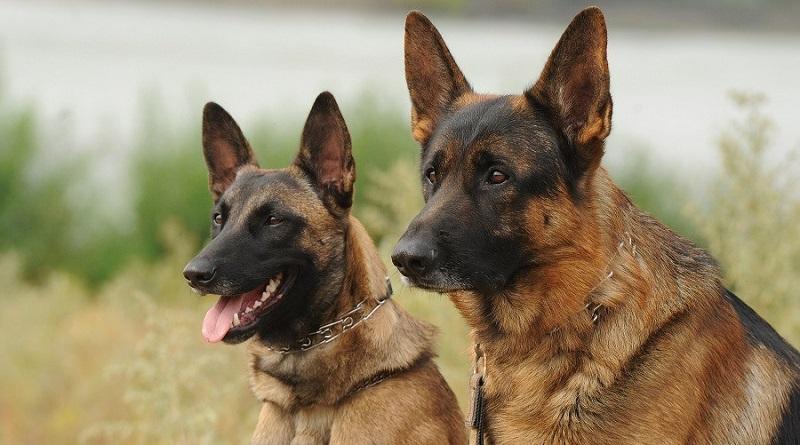 https: img.okezone.com content 2019 09 03 612 2100221 bima-aryo-beberkan-buasnya-anjing-belgian-malinois-sering-incar-kepala-dan-leher-GoyKTWcCGD.jpg