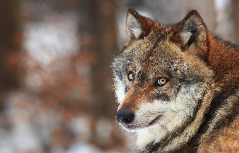 https: img.okezone.com content 2019 09 05 196 2101048 demi-lindungi-keluarga-pria-ini-rela-dicabik-cabik-serigala-PUvTrFP509.jpg