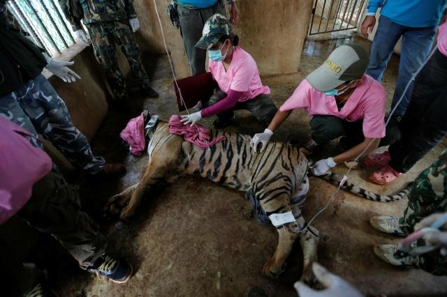 https: img.okezone.com content 2019 09 17 18 2106072 86-harimau-diselamatkan-dari-kuil-di-thailand-mati-ZNRPUpOw3Z.jpg