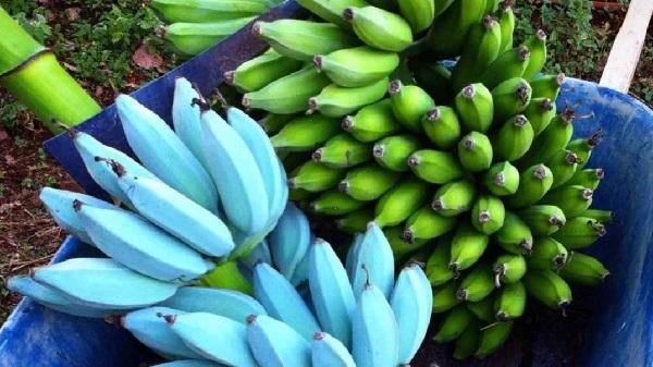 https: img.okezone.com content 2019 09 18 56 2106515 tahukan-anda-ternyata-pisang-terdiri-dari-berbagai-warna-8UAJBU7tgB.jpg