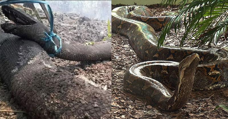 https: img.okezone.com content 2019 09 19 612 2106730 fakta-mengejutkan-tangkalaluk-ular-misterius-dari-kalimantan-Zm4QpJJebG.jpg