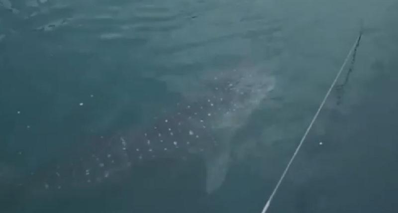 https: img.okezone.com content 2019 09 20 320 2107325 hiu-paus-kok-bisa-tersesat-ke-pltu-paiton-ternyata-ini-sebabnya-OuumNll9Wb.jpg