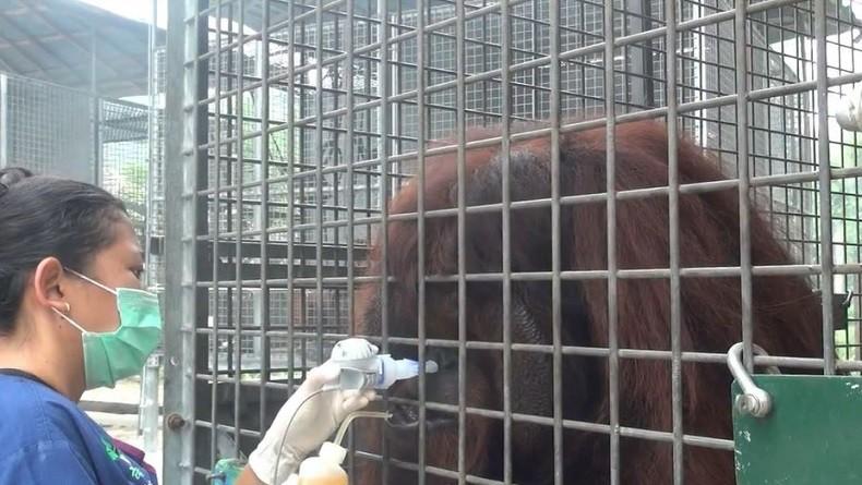 https: img.okezone.com content 2019 09 21 340 2107577 37-orangutan-terserang-ispa-akibat-kabut-asap-harus-dirawat-intensif-OjJQAW8scm.jpg