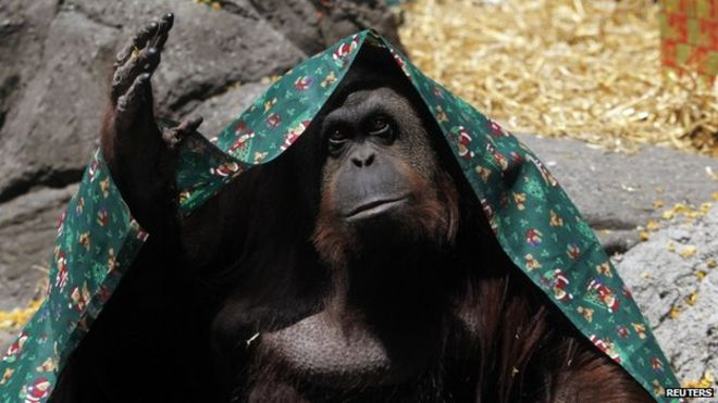 https: img.okezone.com content 2019 09 28 18 2110427 orangutan-ini-pindah-ke-as-usai-dapat-hak-hak-hukum-seperti-manusia-PtKgfAFGTd.jpg