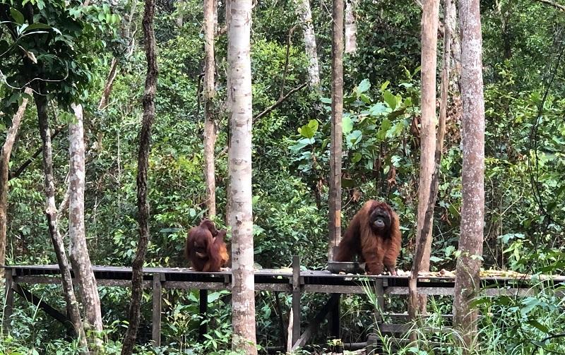 https: img.okezone.com content 2019 09 29 406 2110687 feeding-orangutan-wisata-di-tanjung-puting-idola-turis-asing-lMr86ZF094.jpg